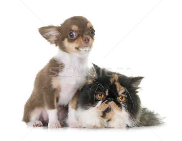 トリコロール ペルシャ猫 女性 スタジオ 子犬 ペット ストックフォト © cynoclub