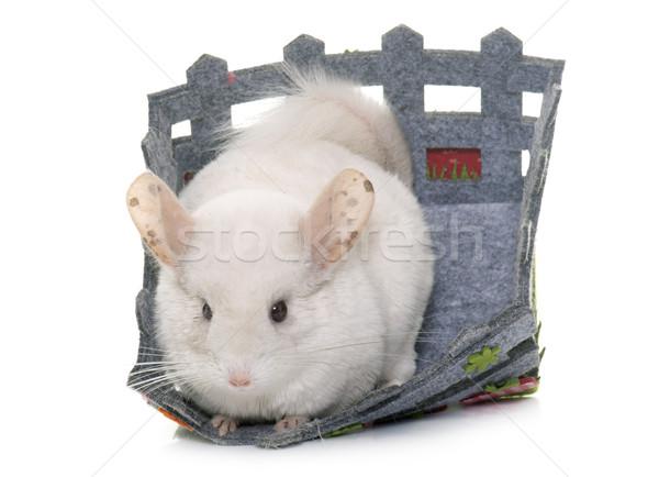 Chinchilla studio jeunes blanche animaux panier Photo stock © cynoclub