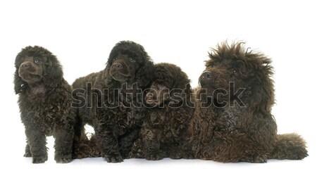 щенки коричневый собака волос группа игрушку Сток-фото © cynoclub