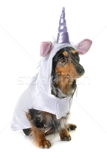 unicorn dachshund  in studio Stock photo © cynoclub