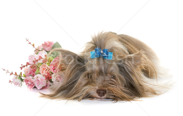 Foto stock: Cachorro · yorkshire · terrier · blanco · perro · jóvenes