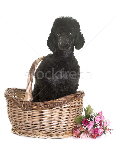 черный пудель студию белый цветок корзины Сток-фото © cynoclub