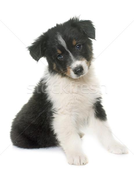 Cachorro australiano pastor estúdio branco preto Foto stock © cynoclub