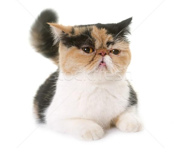 Kadın egzotik kedi ısı üç renkli Stok fotoğraf © cynoclub