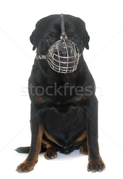 rottweiler and muzzle Stock photo © cynoclub