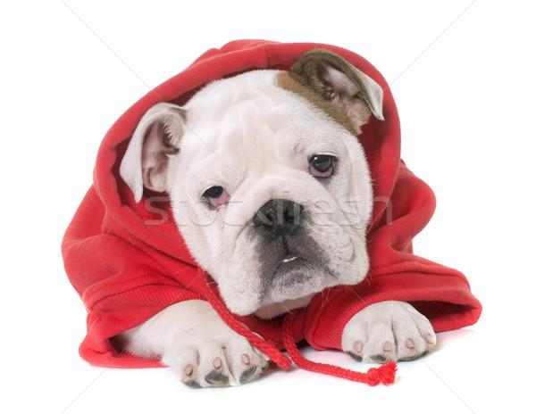dressed puppy english bulldog Stock photo © cynoclub