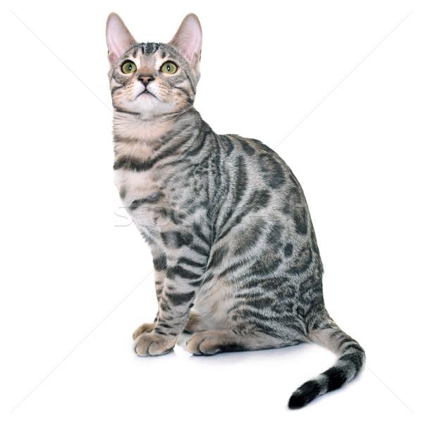 bengal kitten in studio Stock photo © cynoclub
