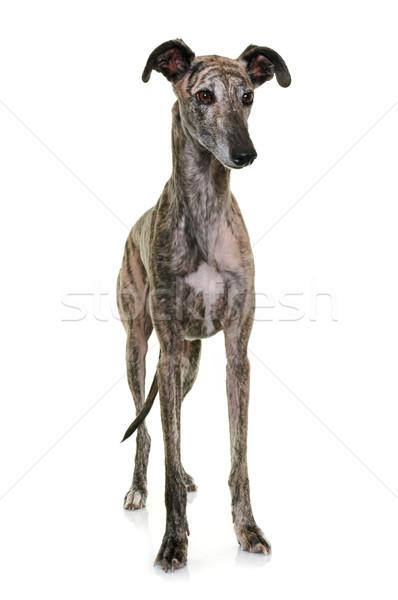 galgo espanol in studio Stock photo © cynoclub
