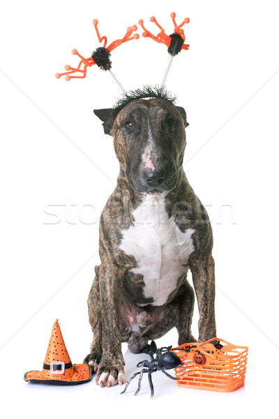 brown bull terrier and halloween Stock photo © cynoclub