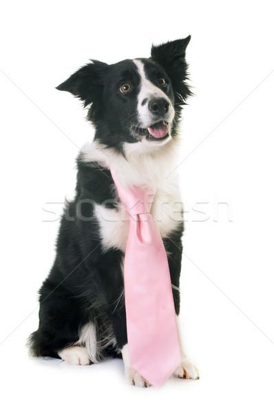 Border collie cravatta bianco nero femminile studio Foto d'archivio © cynoclub