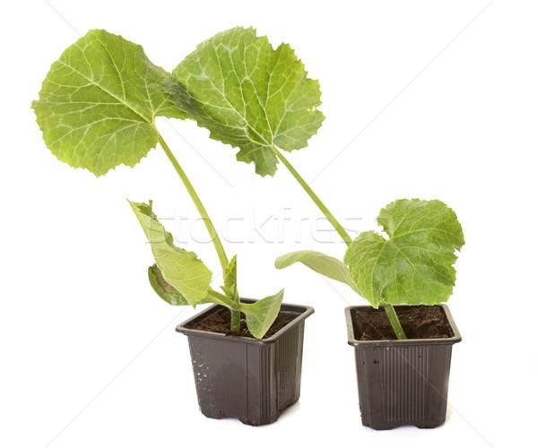 plants of Zucchini Stock photo © cynoclub