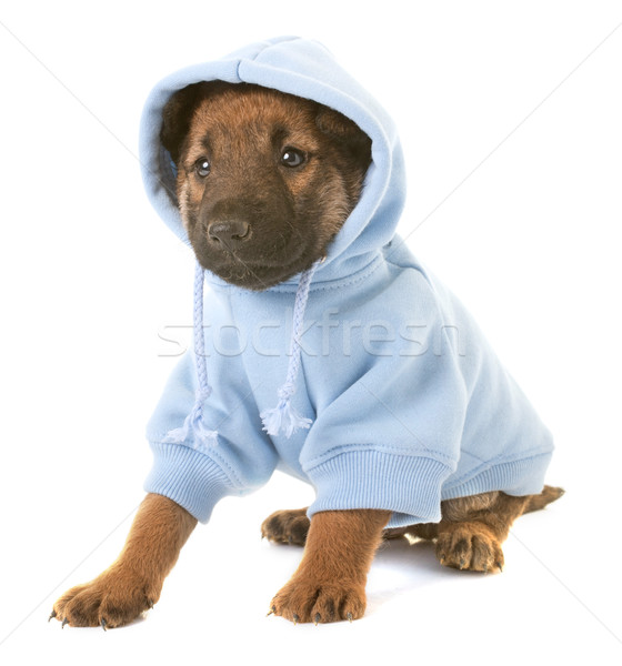 dressed puppy belgian shepherd dog laekenois Stock photo © cynoclub
