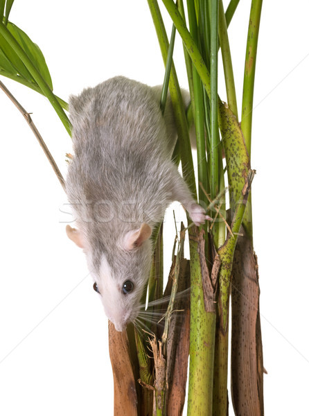 rat in plant Stock photo © cynoclub