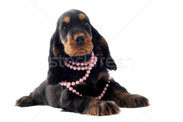 puppy english cocker Stock photo © cynoclub