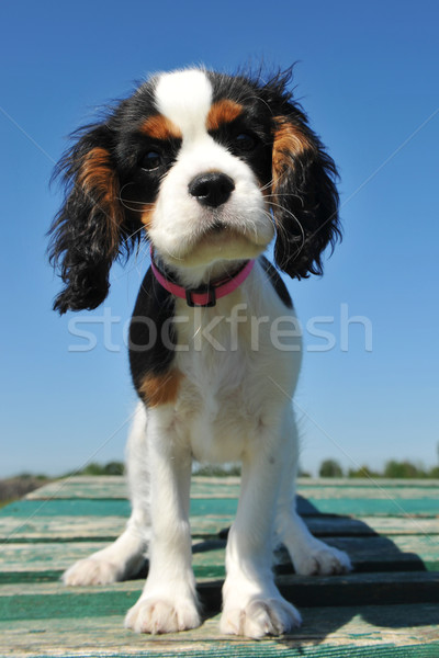 puppy cavalier king charles Stock photo © cynoclub