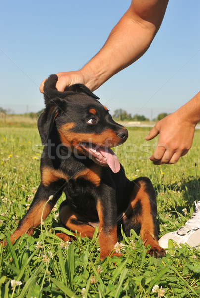 Punition photos chiot rottweiler herbe Photo stock © cynoclub