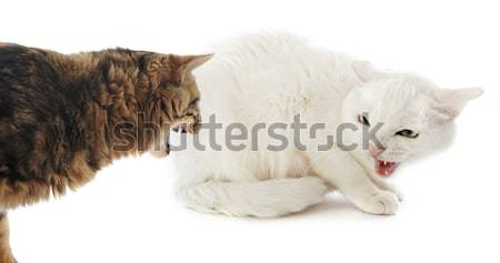 conflict between cats Stock photo © cynoclub