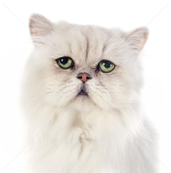 Witte perzische kat kat groene hoofd huisdier Stockfoto © cynoclub