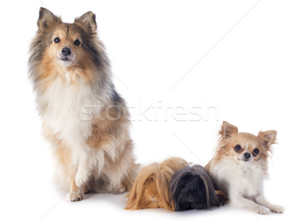 Stock photo: Peruvian Guinea Pig and dogs