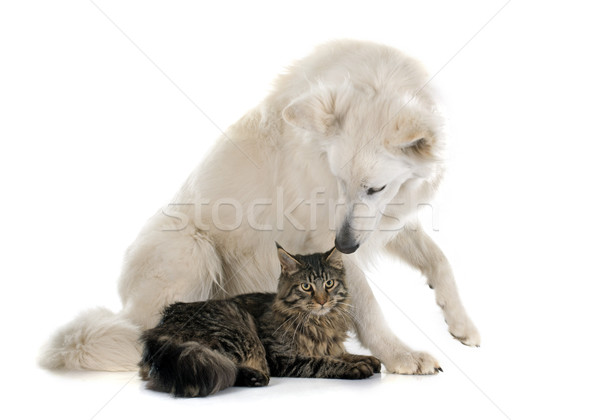 Swiss shepherd and cat Stock photo © cynoclub