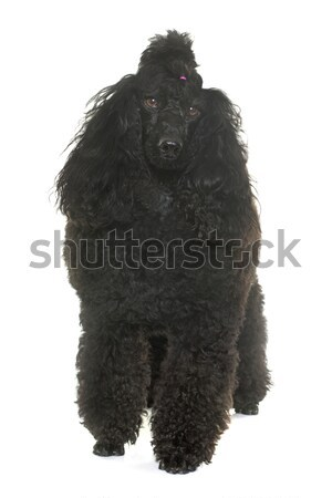 Uszkár stúdió fajtiszta fehér kutya haj Stock fotó © cynoclub