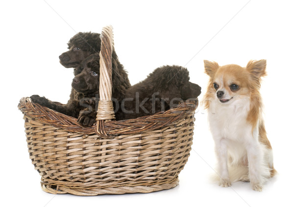 Stock photo: puppies brown poodles and chihuahua