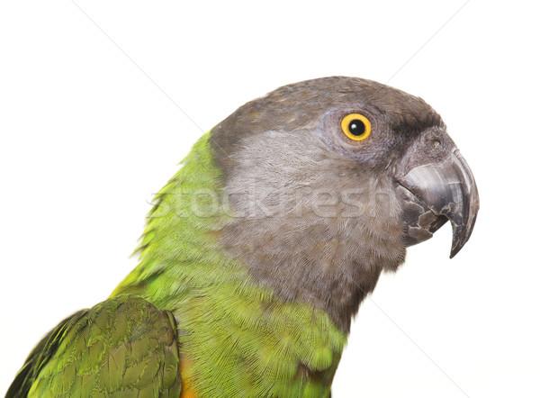 Szenegál papagáj stúdió fehér zöld Stock fotó © cynoclub