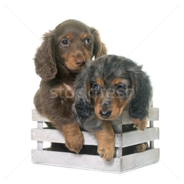 puppies dachshund  in studio Stock photo © cynoclub