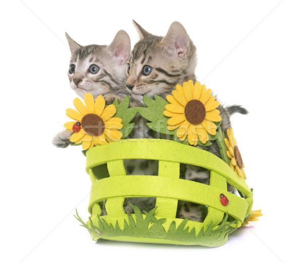 bengal kitten in basket Stock photo © cynoclub
