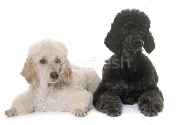 two poodles in studio Stock photo © cynoclub