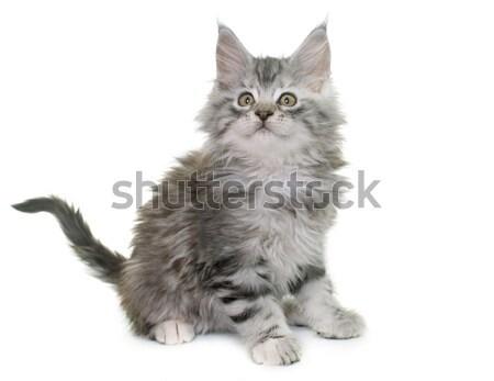 Stockfoto: Maine · kitten · witte · kat · speelgoed · spelen