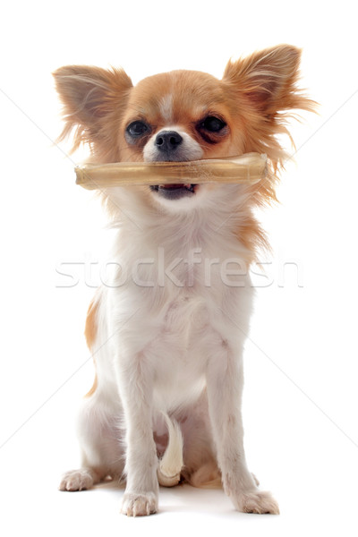 puppy chihuahua and his bone Stock photo © cynoclub