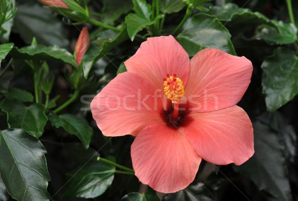 Stok fotoğraf: Ebegümeci · pembe · büyüyen · tropikal · bahçe · doğa