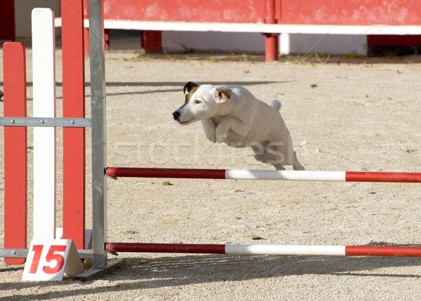 jack russel terrier in agility Stock photo © cynoclub