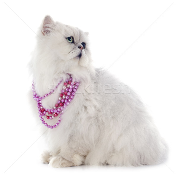 Witte perzische kat kat roze vergadering parel Stockfoto © cynoclub