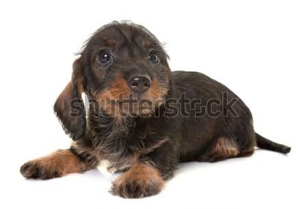 Szczeniak rottweiler biały czarny młodych domowych Zdjęcia stock © cynoclub