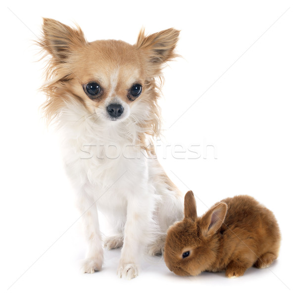 young rabbit and chihuahua Stock photo © cynoclub