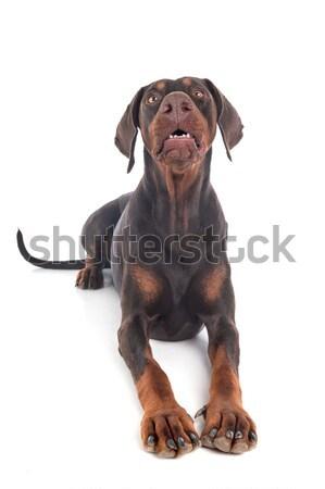 Rottweiler blanche studio animal Photo stock © cynoclub