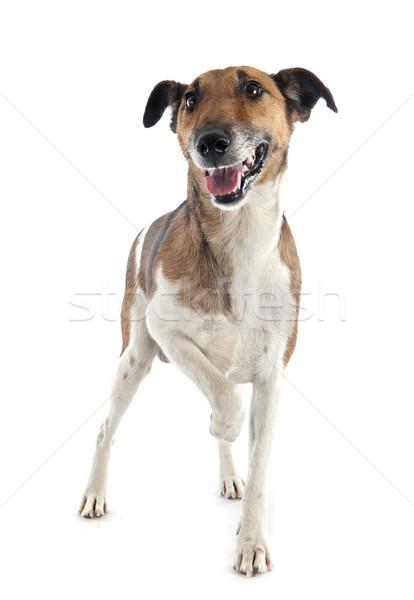 Raposa terrier retrato branco cão Foto stock © cynoclub