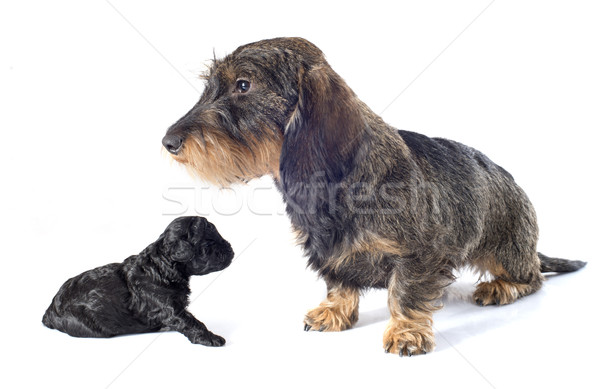 puppy poodle and dachshund Stock photo © cynoclub