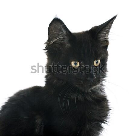 black cat Stock photo © cynoclub