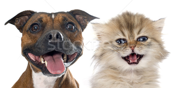 stafforshire bull terrier and persian kitten Stock photo © cynoclub