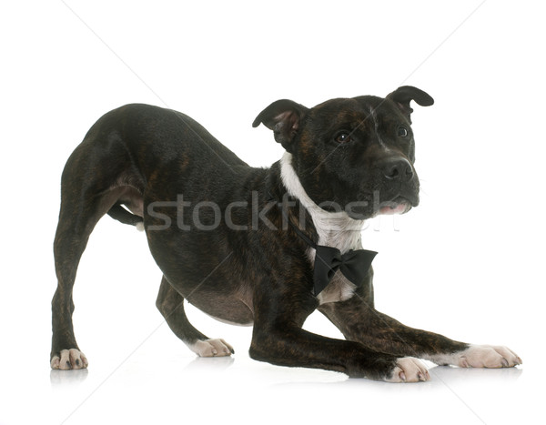 bow of staffordshire bull terrier Stock photo © cynoclub