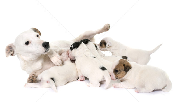 Adulte chiots terrier blanche chien lait Photo stock © cynoclub