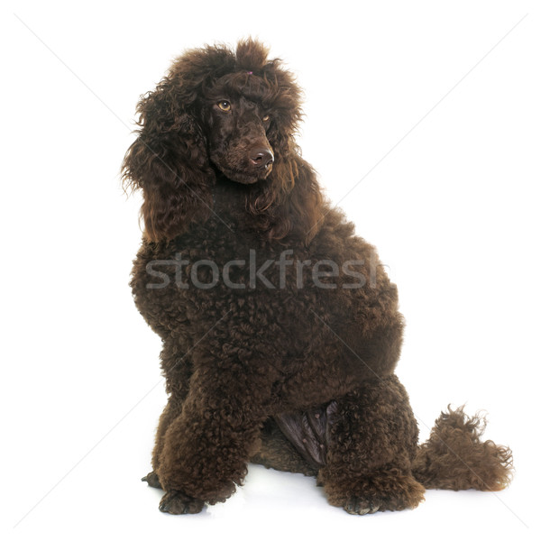 Caniche studio blanche chien animaux Photo stock © cynoclub