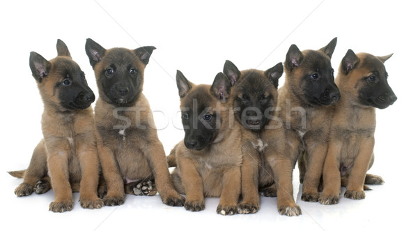 Cuccioli pastore belga cane gruppo animale pet Foto d'archivio © cynoclub
