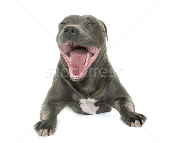 Stock photo: staffordshire bull terrier yawning