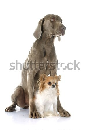 Great Dane and chihuahua Stock photo © cynoclub