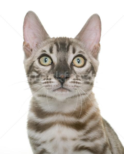 Foto stock: Jóvenes · gato · gatito · blanco · retrato