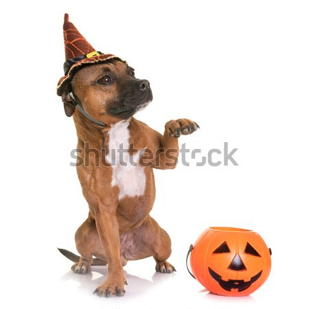 pet and pumpkin of halloween Stock photo © cynoclub